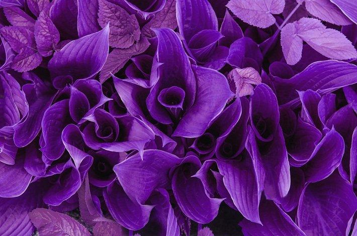 Significado de las flores color Púrpura