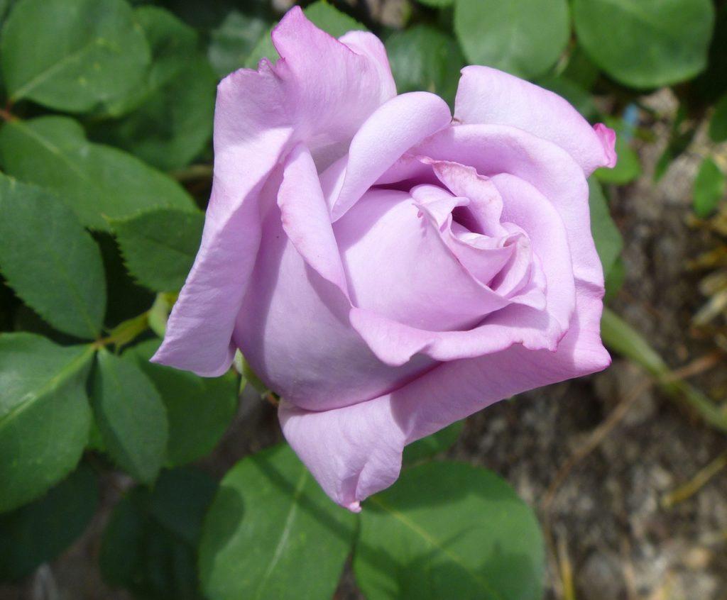 Significado de las rosas color lavanda