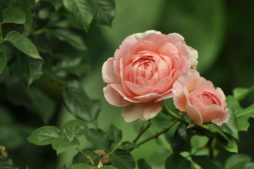 Significado de las rosas color melocotón