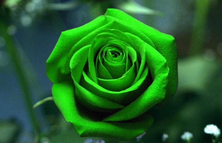 Significado de las rosas color verdes